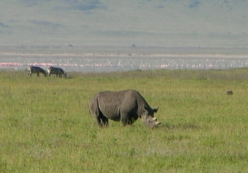 Rhinoceros in the Ngorongoro Crater