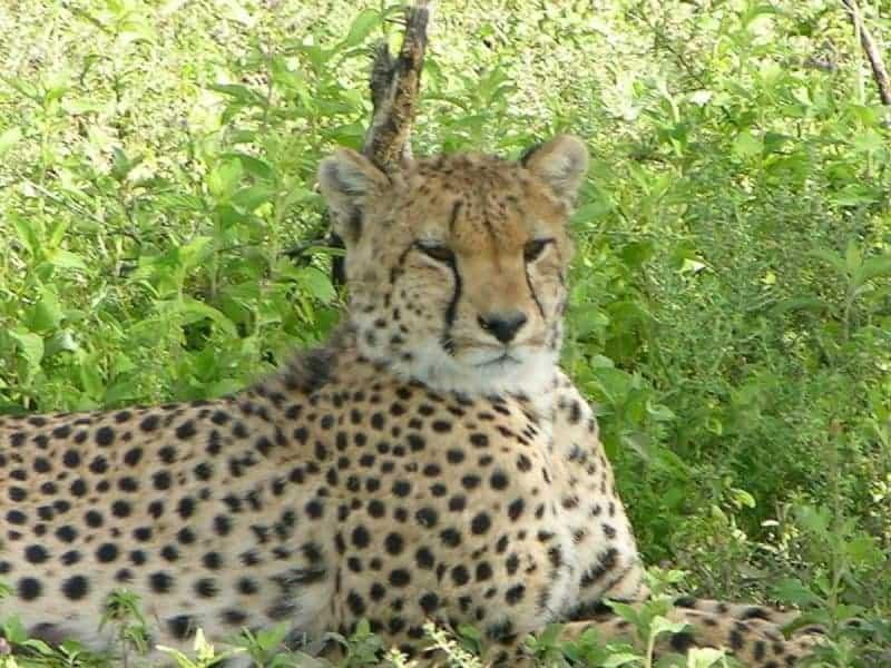Cheetah. Serengeti.