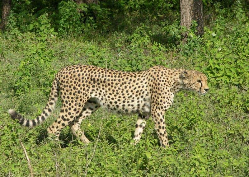 Cheetah. Serengeti