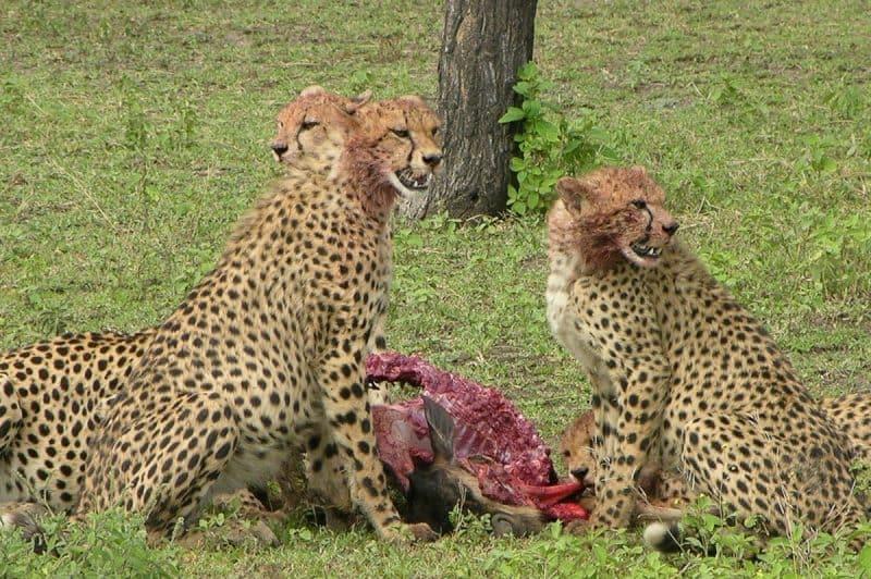 Cheetahs. Serengeti