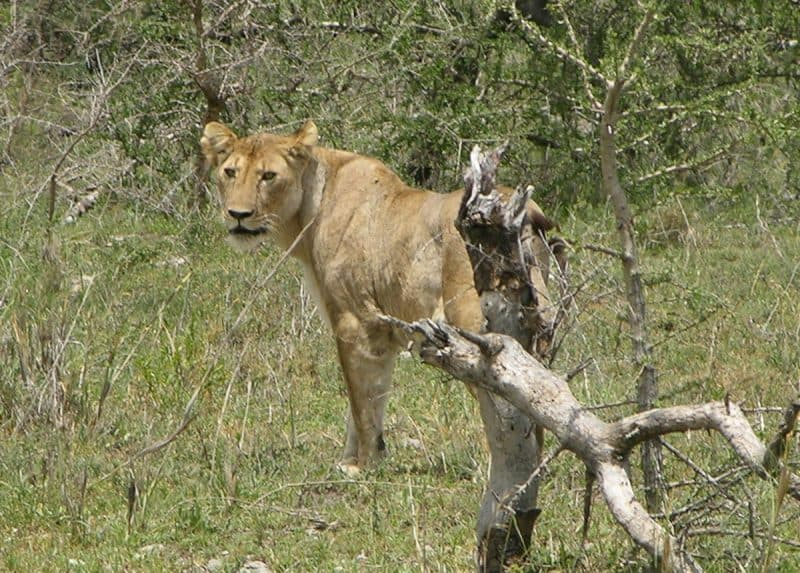 Lion. Serengeti
