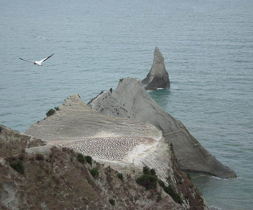 Gannet colony at Cape Kidnapper